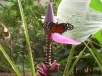 cr-banana-butterfly