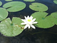 lotus-linking-leaves