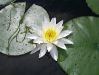 water_lily_joins_lily_pads