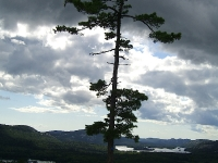 killarney_tree